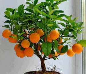 Mini orange tree (not sure where I got this image, others linked at end of post)
