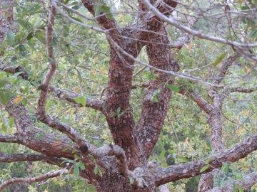Oak tree in Peckerwood Garden, Photo by Bethany Jordan