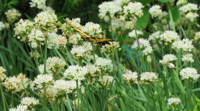 Butterfly in Alliums