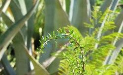 Foresteria-angustifolia-pendulata
