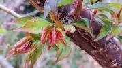 Prunus-mume-pink-panther