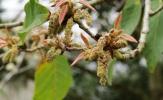 Quercus-polymorpha